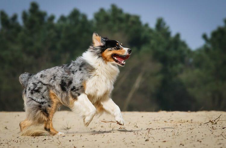Australian Shepherd and Border Collie Mix