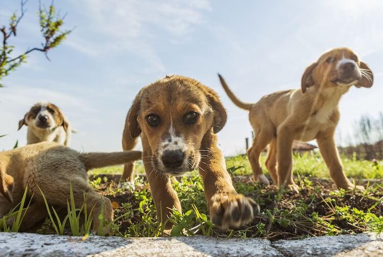 Beagle Lab Mix Feature