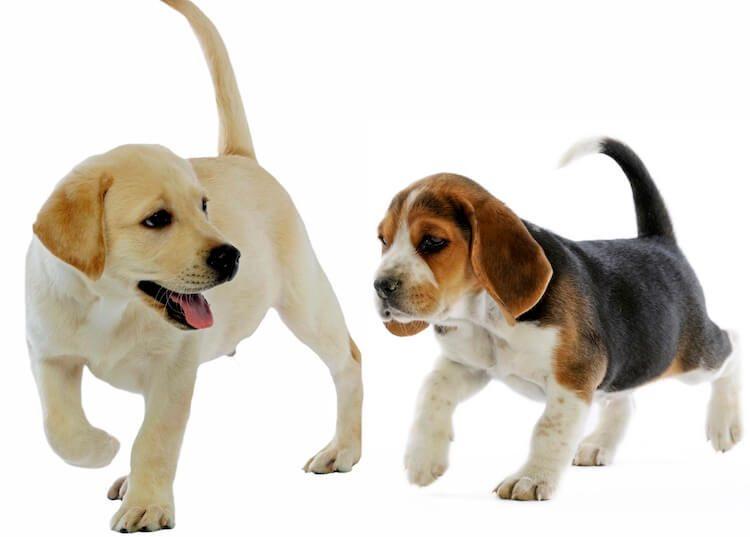 Beagle and Labrador Retriever Puppy