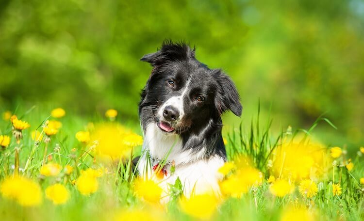Best Border Collie Names