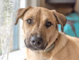 Black Mouth Cur Feature