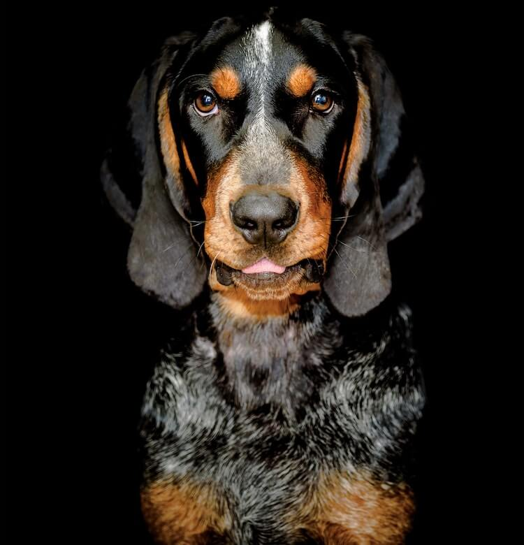 Bluetick Coonhound Appearance