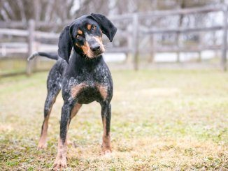 Bluetick Coonhound Feature