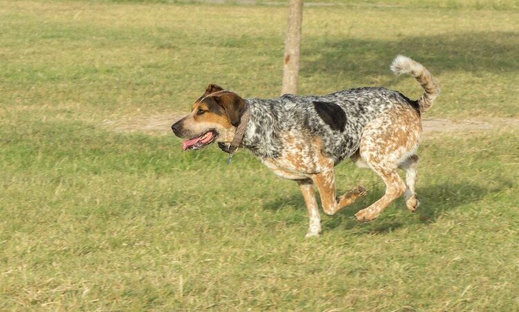 Bluetick Coonhound Running