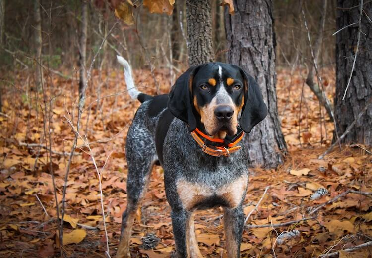 Bluetick Coonhound Size