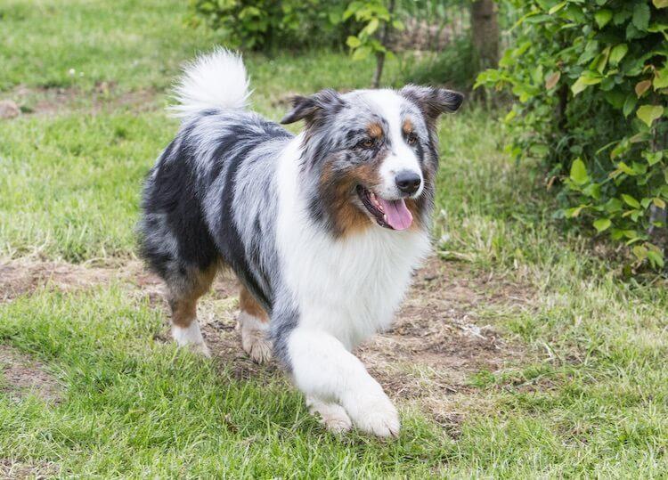 Border Aussie Dog
