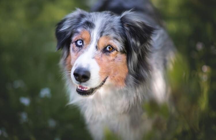 Border Collie Australian Shepherd Eyes
