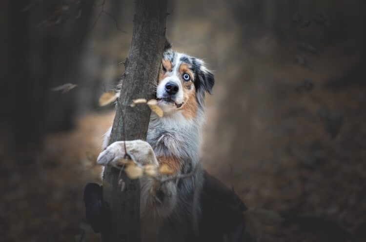 Border Collie Australian Shepherd In The Woods