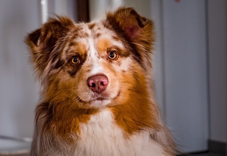 Border Collie Australian Shepherd Mix Feature