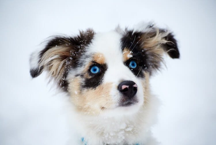 Border Collie Australian Shepherd Mix Puppy