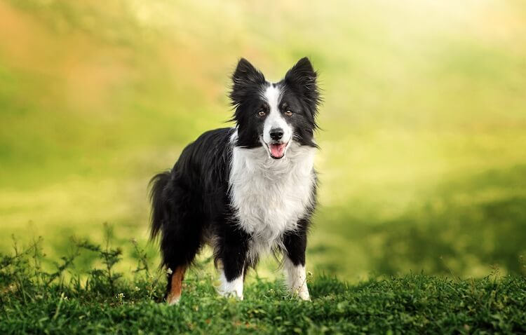 Border Collie Puppy Names