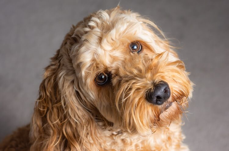 Cockapoo Feature