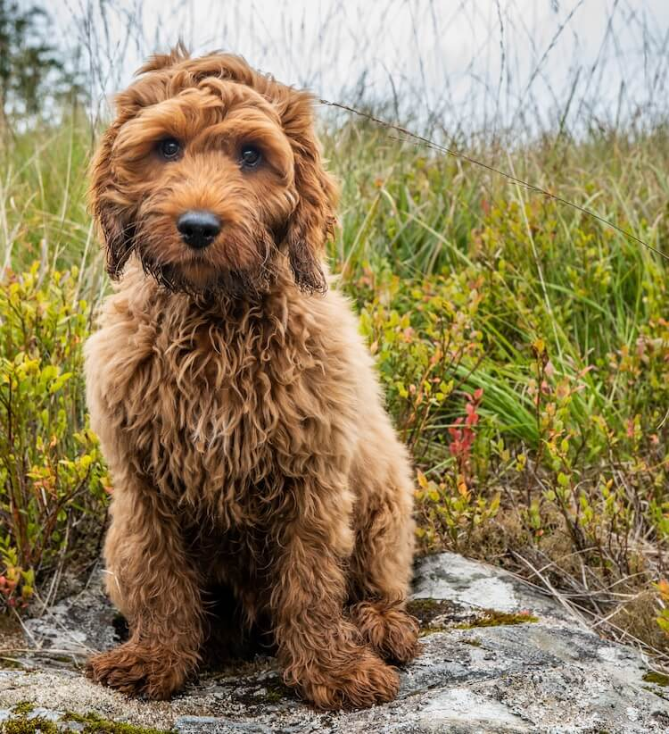 Cockapoo – The Out-Going, Happy & Playful Cocker Spaniel