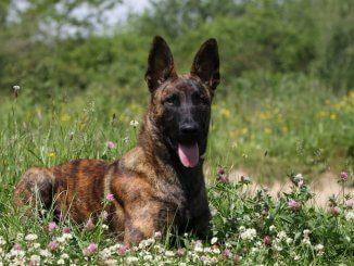 Dutch Shepherd Feature