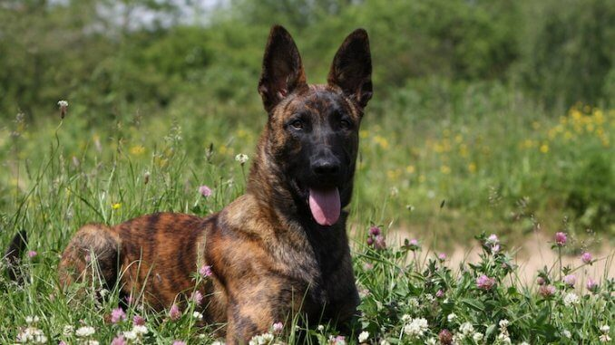 Dutch Shepherd Feature