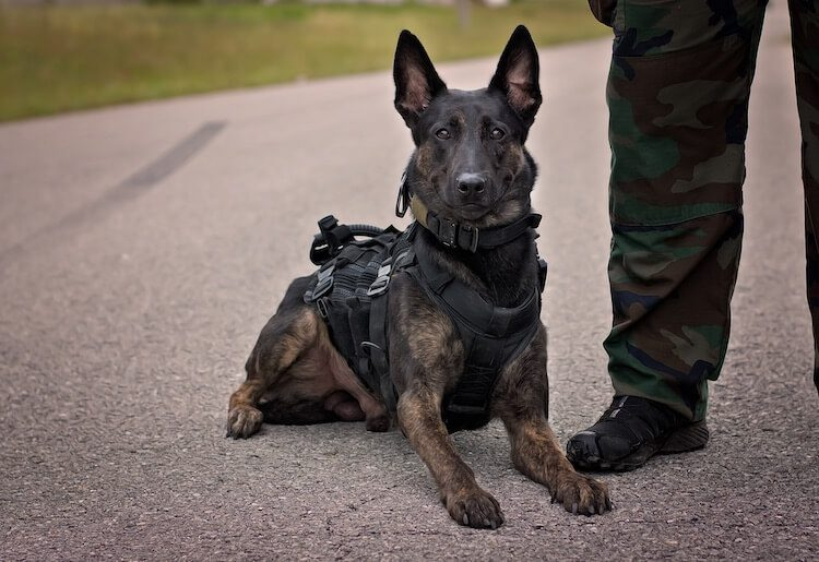 Dutch Shepherd Police Dog