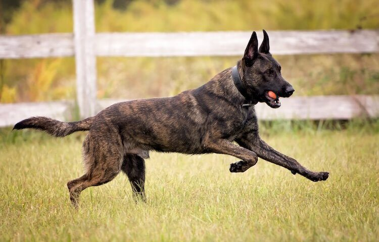 Dutch Shepherd Running