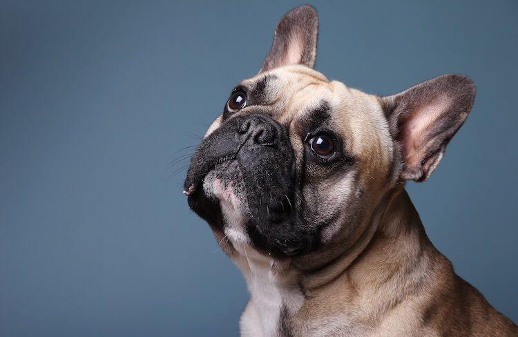 Female French Bulldog Names