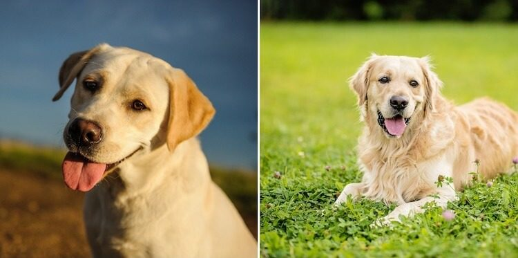 Golden Retriever x Labrador Retriever