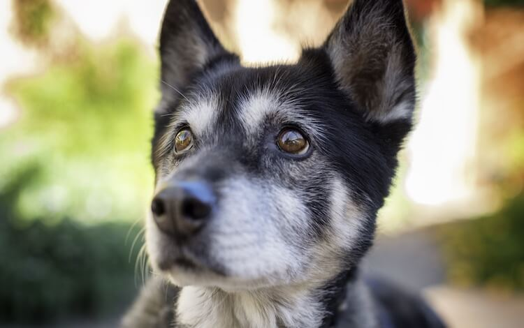 Husky Mix Dog