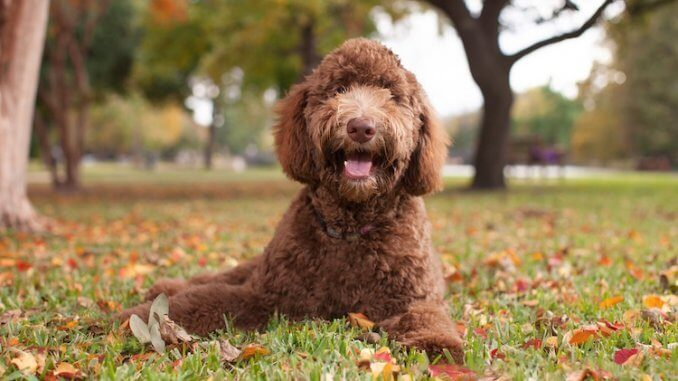 Hypoallergenic Dogs Feature