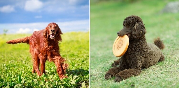 Irish Doodle A Complete Guide To The Irish Setter Doodle