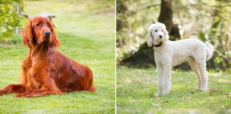 Irish Setter and Poodle