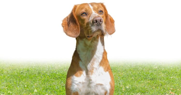 Lab Beagle Mix