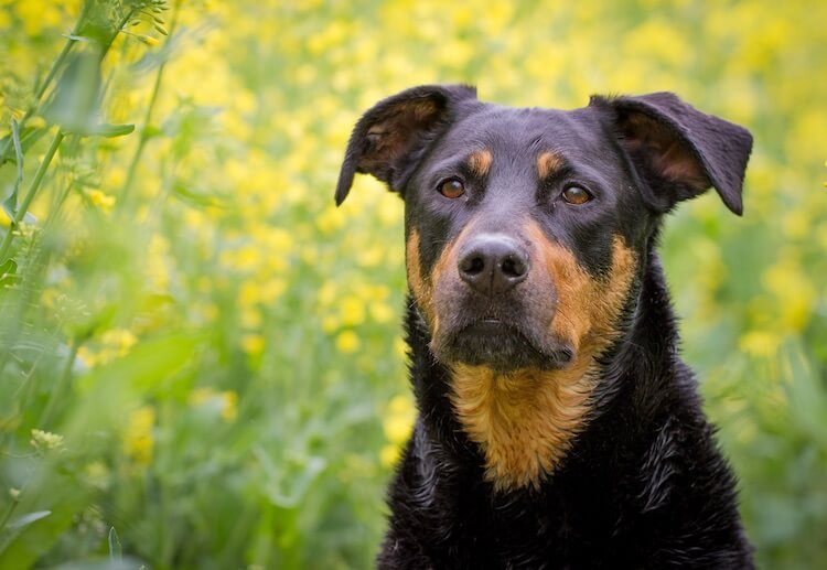 Lab Rottweiler Mix Portrait