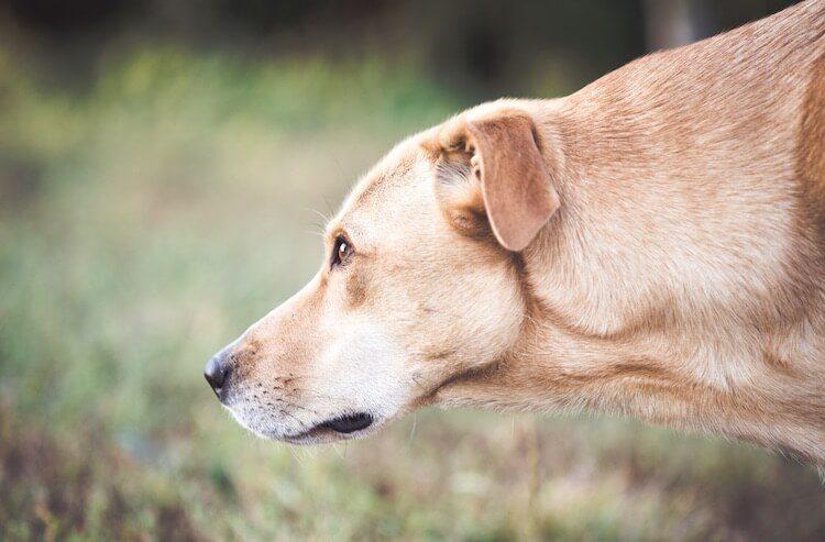 Labrador Mix