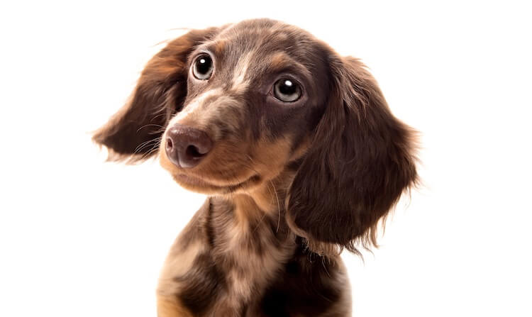 Long Haired Dachshund Dog