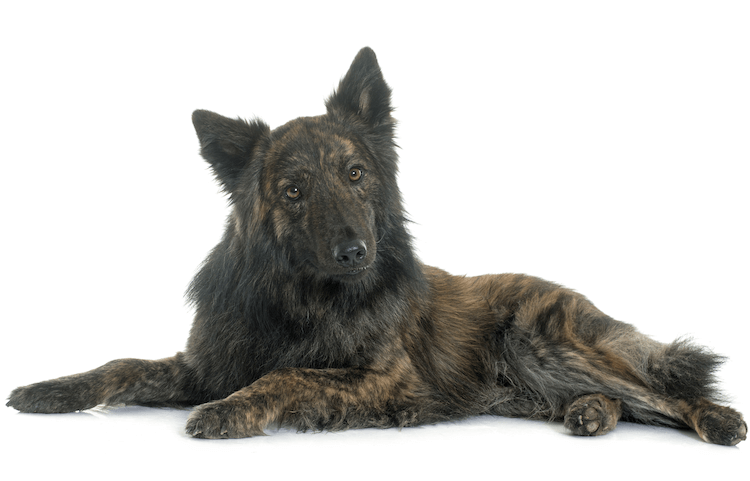 Long Haired Dutch Shepherd