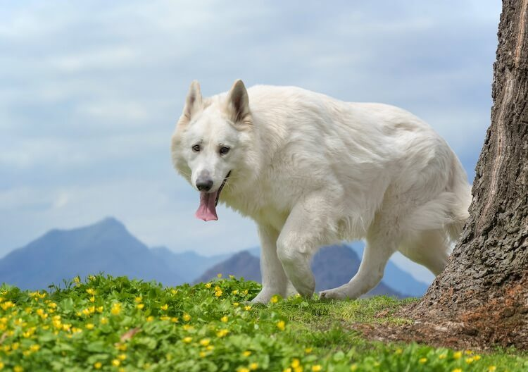 Long Haired white German Shepherd