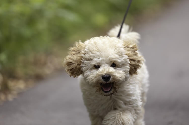 Maltipoo Dog Walking