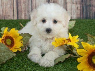 Maltipoo Feature