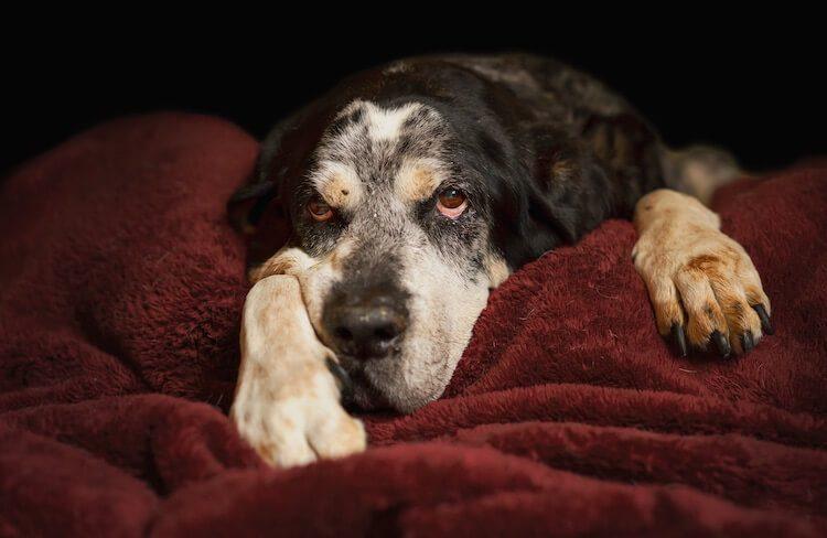 Old Bluetick Coonhound
