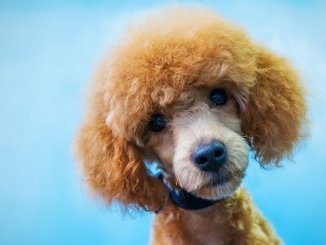 Poodle Names Feature