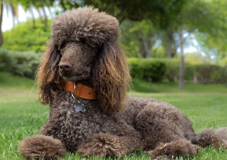 Poodle Names 450 Perfect Popular And Pretty Names For