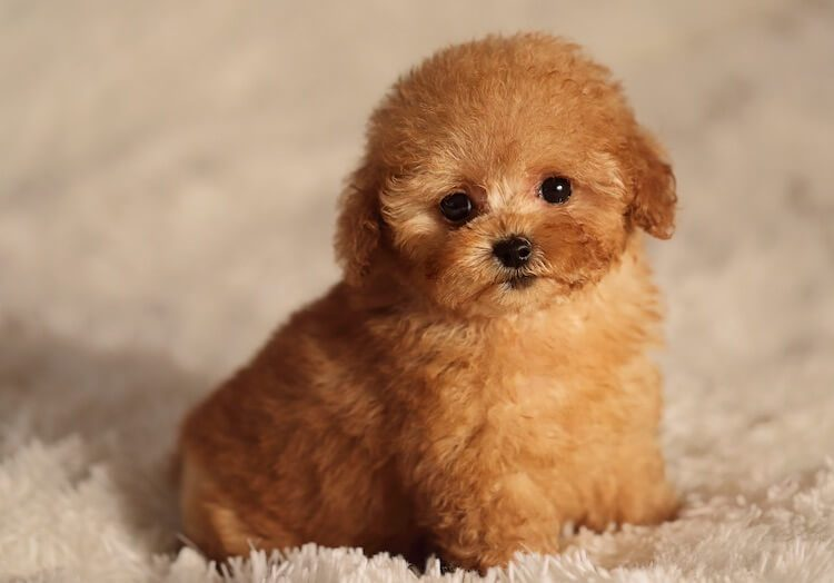 Teacup Poodle Names