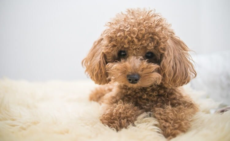 Toy Poodle Names