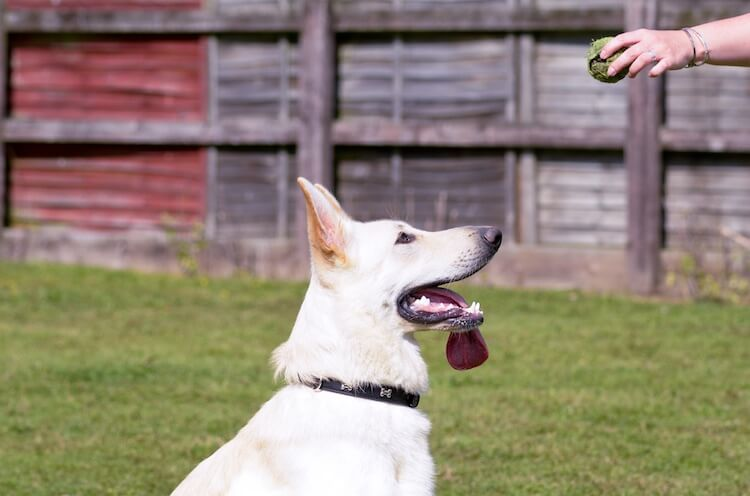 Training a White GSD