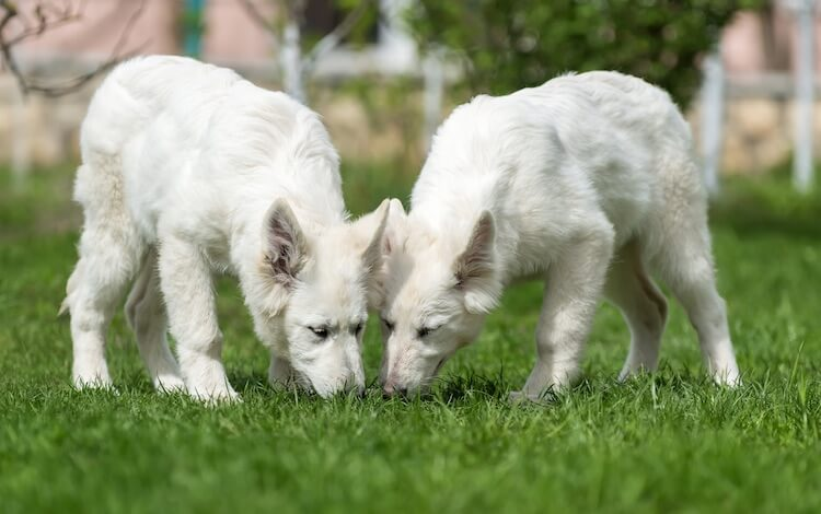 Two white German Shepherd Dogs