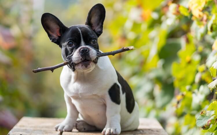 Unique French Bulldog Names