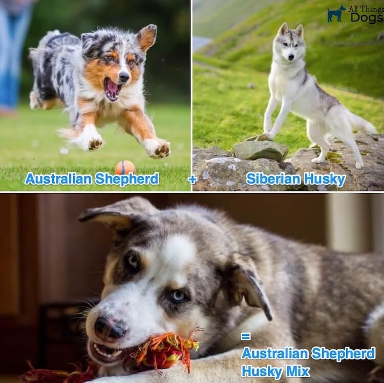 What Is A Australian Shepherd Husky Mix?