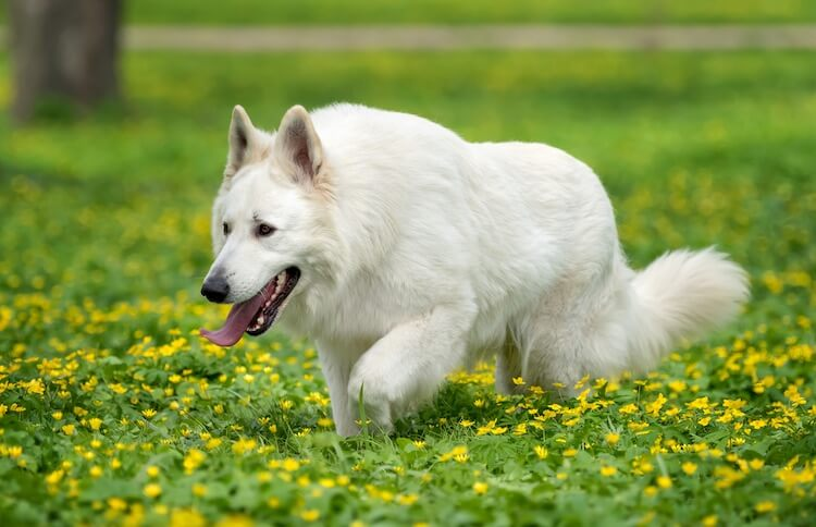 White GSD Dog