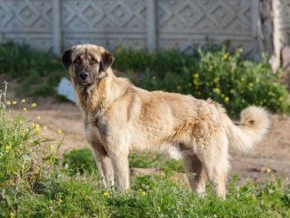Anatolian Shepherd Feature