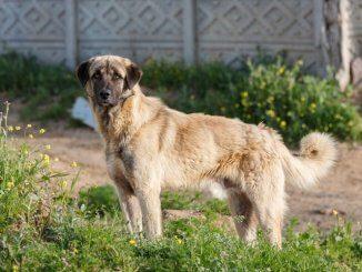 Anatolian Shepherd Feature