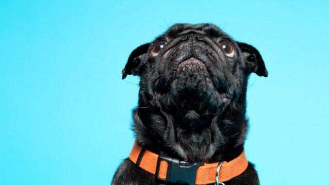 Black Pug Feature