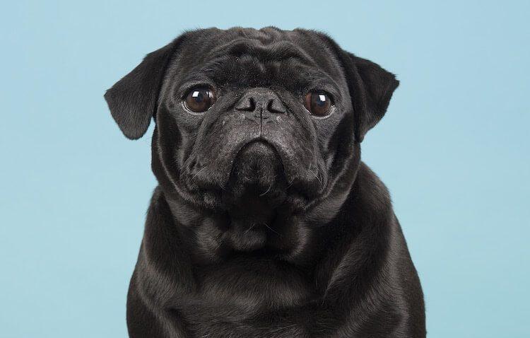 Black Pug Portrait