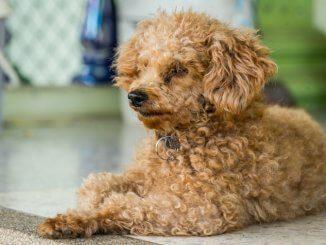 Corgi Poodle Mix Feature